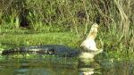 A caiman welcomes the sun!