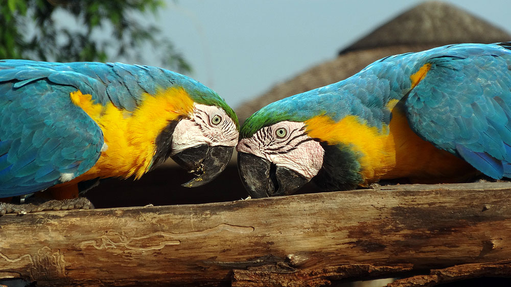 481BR1910SS_pantanal-blue-and-yellow-macaws.jpg [© Last Frontiers Ltd]